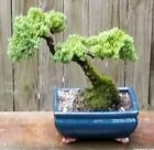 Juniper Procumbens Bonsai tree in a Blue Glazed ceramic 8 inch pot Made in USA