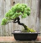 Juniper Procumbens Bonsai tree in a 10 inch plastic rectangle pot