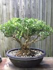 Japanese Boxwood bonsai 12 inch plastic oval pot Beautiful Old tree