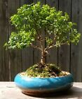 Kingsville Boxwood Bonsai Trained 12 Years Old in Blue Glazed Pot