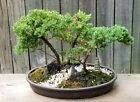 Juniper Procumbens Nana Bonsai forest in a 12 inch brown oval plastic pot