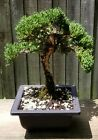 Juniper Procumbens Bonsai tree in a 6 Square plastic pot Jin and shari Oldie
