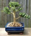 Tai Boxwood Harland Bonsai in blue Rectangular ceramic 8 inch pot
