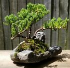 Juniper Procumbens Bonsai tree in a hand carved lava rock pot Made in USA