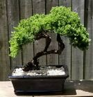 Juniper Procumbens Bonsai tree in a Black Glazed 10 inch ceramic pot