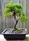 Juniper Procumbens Bonsai tree in a 10 plastic Rectangular pot