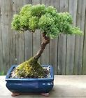 Juniper Procumbens Bonsai tree in a Blue Glazed 8 inch pot Made in USA
