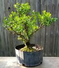 Large Japanese Boxwood pre bonsaiBeautiful Old tree Thick trunk