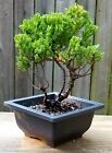 Juniper Procumbens Nana Bonsai tree in a 4 square plastic pot