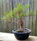 Eastern cedar Bonsai tree in a 10 Rectangle plastic pot Naturally collected