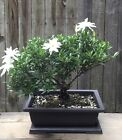 Miniature Gardenia Bonsai tree in a 10 inch plastic pot Blooming in a few days