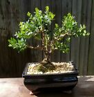 Baby gem mini Boxwood Bonsai 8 inch black glazed pot