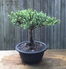 Juniper Parsoni Bonsai tree in a 6 Round plastic pot