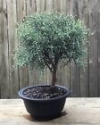 Arizona Cypress Bonsai tree in a 6 round plastic pot Smells Amazing