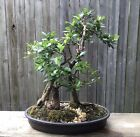 Walters viburnum Bonsai forest Flowering old Bonsai Trio