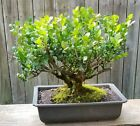 Japanese Boxwood bonsai 12 inch plastic Rectangle pot Beautiful Old tree