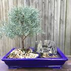 Arizona Cypress Bonsai tree in a 12 Rectangular pot Very calmi