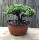 Juniper Procumbens nana pre Bonsai tree