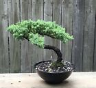 Juniper Procumbens Bonsai tree in 75inch Black melamine pot Beautiful old tree
