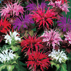 50 Mixed Bee Balm Monarda Flower Seeds For Spring Plantings