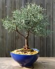 Arizona Cypress Bonsai tree in a blue ceramic organic shaped pot