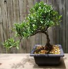 Miniature Gardenia Bonsai tree in 6  square plastic pot Blooming any day