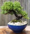 Juniper Procumbens Nana BonsaiBlue glazed organic shaped ceramic Pot