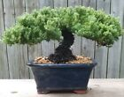 Juniper Procumbens Bonsai tree in Blue Ceramic Rectangle potHuge trunk beauty
