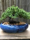Juniper Procumbens Bonsai tree in a Blue Glazed 10 inch pot