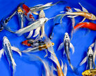 5 Lot Assorted 6 8 Premium Butterfly Live Koi Fish A Quality for Pond