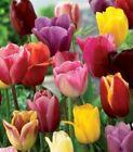 50 SPRING ETERNAL MIX Tulip Bulbs DIFF TYPES COLORS Triumph Double Parrot Darwin