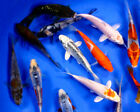 50 Lot Assorted 25 3 PREMIUM BUTTERFLY Live Koi Fish A Quality for Pond
