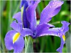 40 BLUE MAGIC DUTCH IRIS BULB CORM NICE BEAUTIFUL SPRING SUMMER FLOWER PERENNIAL