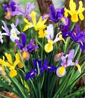 15 MIX MIXED COLOUR DUTCH IRIS SPRING GARDEN BULB CORM 4 SUMMER BEAUTIFUL FLOWER