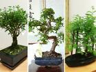 Traditional Forest Bonsai Tree  Pot Chinese Elm Ginseng Outdoor Garden Plant
