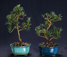 Podocarpus Indoor Bonsai Tree Tropical Bonsai Tree PM7004