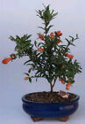 Bonsai Online Flowering  Fruiting Dwarf Pomegranate Small Bosai Tree c1295