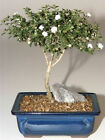 Bonsai Tree Buy Snow Rose Serissa Bonsai Tree Medium 8 years old d1321