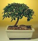 Indoor Bonsai Tree Flowering Brush Cherry Bonsai Tree Small 5 Years Old c1279