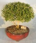 Bonsai Indoor Chinese Flowering White Serissa Large Tree of Thousand Stars e2872