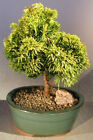 Bonsai Online Store Golden Hinoki Cypress Bonsai Tree Small 7 Years Old E3300