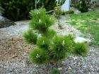 Banshosho Japanese Black Pine 3 Year Graft Perennial seedlings bonsai Trees
