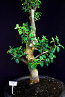 Chinese quince flowering fruiting specimen bonsai 70