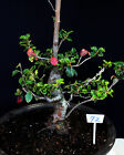 Chinese Quince Flowering  Fruiting Specimen Bonsai Tree 72