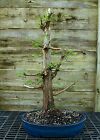 Bonsai Tree Dawn Redwood Specimen DRST 328B