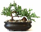 9GreenBox Juniper Tree Bonsai Best Gift