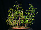 Bonsai Tree Collected American Elm Grove CAEG6 705A