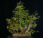 Bonsai Tree Collected American Elm Grove CAEG6 706