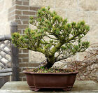 Bonsai Tree Specimen Five Needle Japanese White Pine FNPST 110A