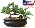 Bonsai Tree live Juniper Flowering House Plant Indoor Decoration Garden New